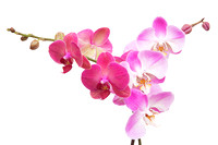 Pink Orchids On White