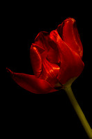 Red Satin Tulip