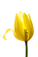 Lemon Tulip 1