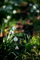 Snowdrops Through a Vintage lenss