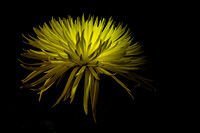 Chrysanthemum Spikes 2