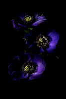 Three Purple Anemones