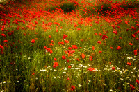 Field of Poppies 3