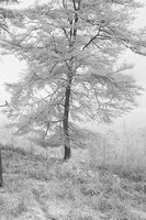A Single Infrared Beech Tree