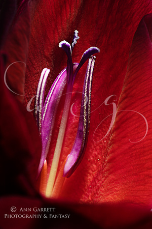 Heart of a Gladiolus